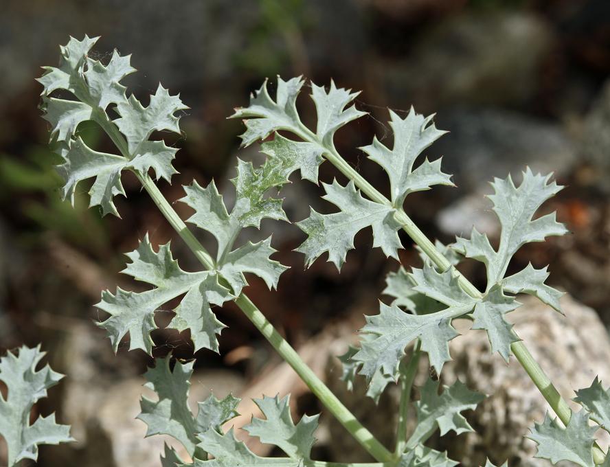 Lomatium rigidum