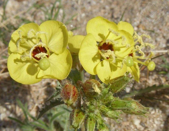 Chylismia claviformis ssp. peirsonii