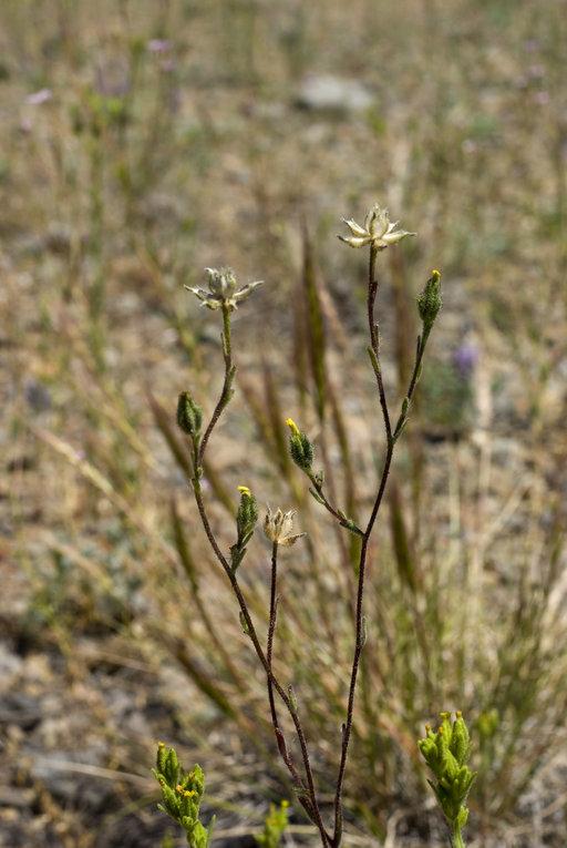Madia citrigracilis