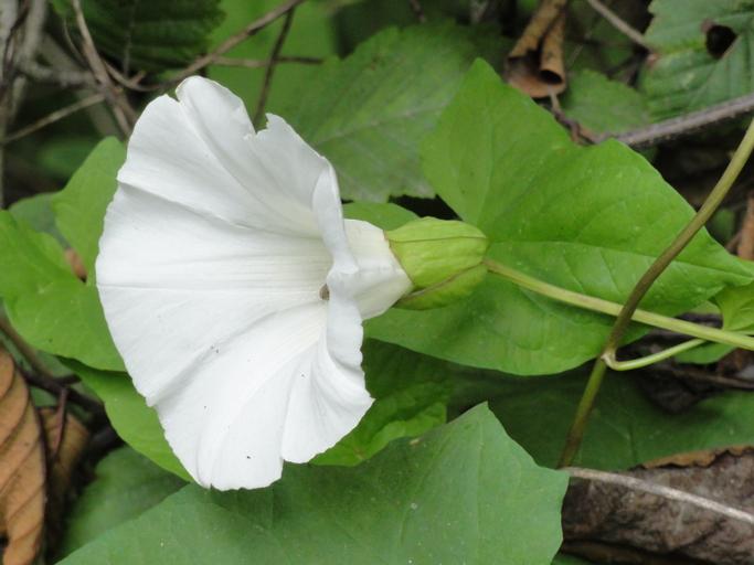 Calystegia silvatica ssp. disjuncta