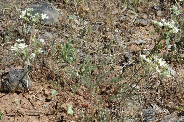 Horkelia daucifolia var. indicta