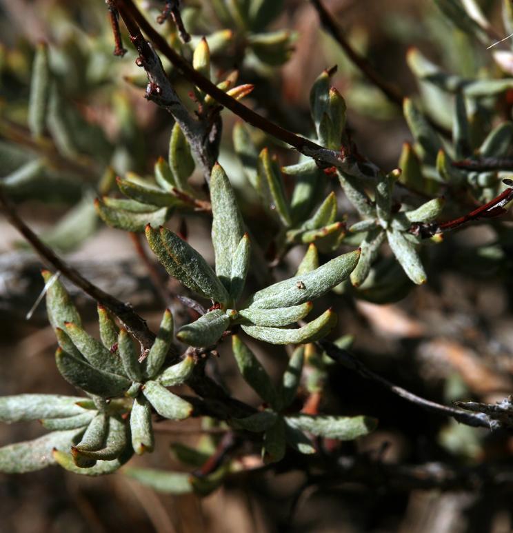 Eriogonum microthecum var. panamintense