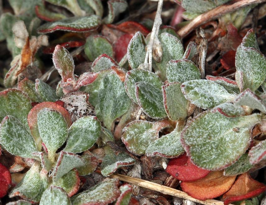 Eriogonum umbellatum var. versicolor