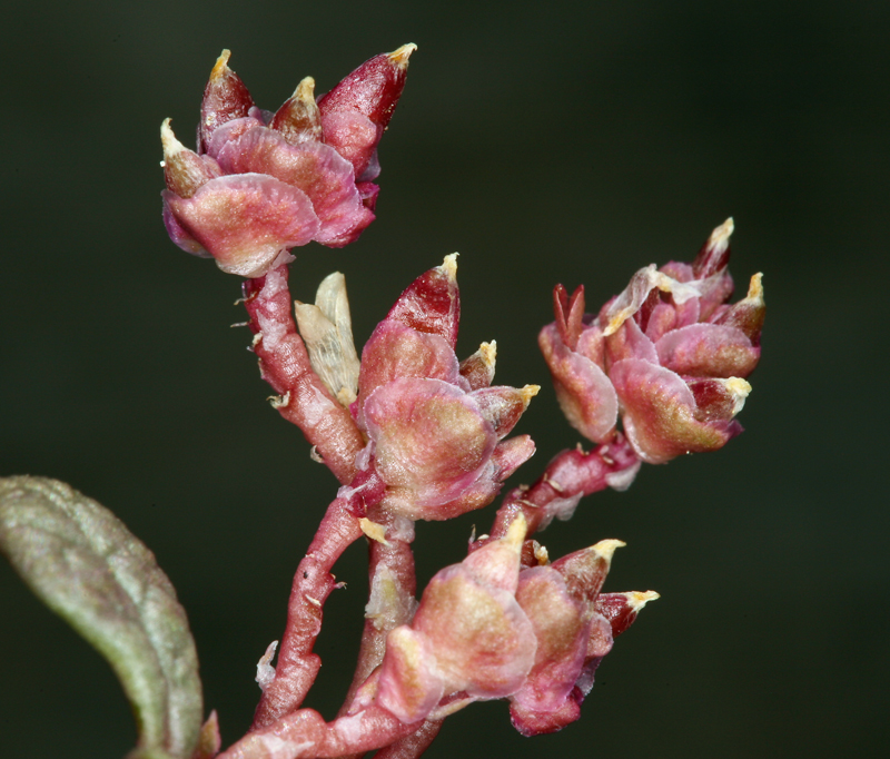 Calyptridium parryi var. nevadense