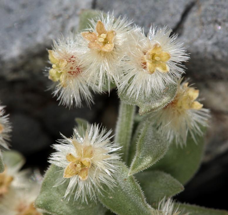 Galium hypotrichium ssp. tomentellum