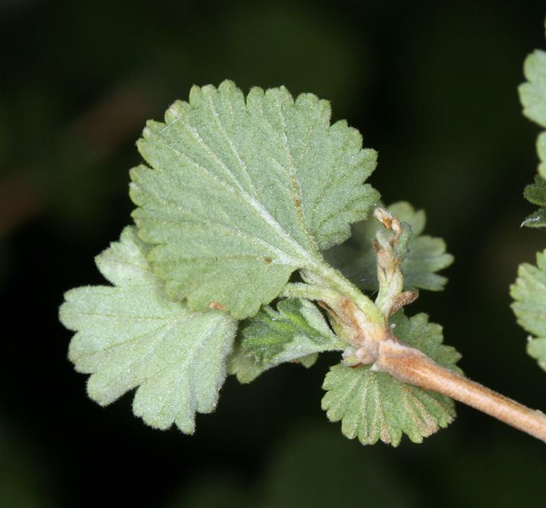 Physocarpus alternans
