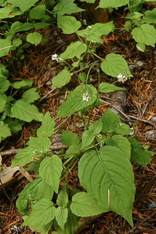 Circaea alpina