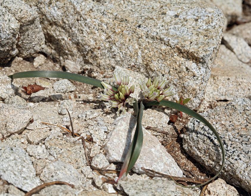 Allium parvum