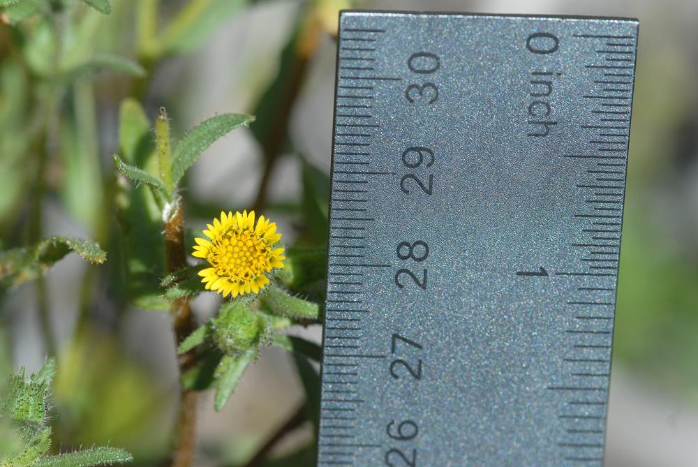 Layia hieracioides