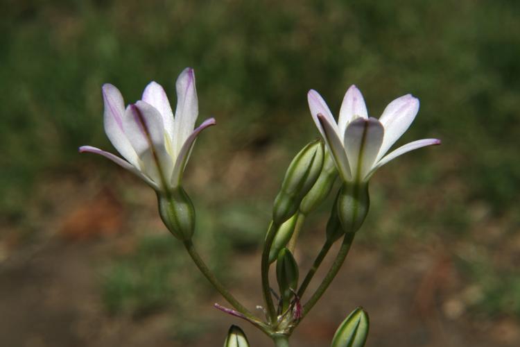 Brodiaea matsonii