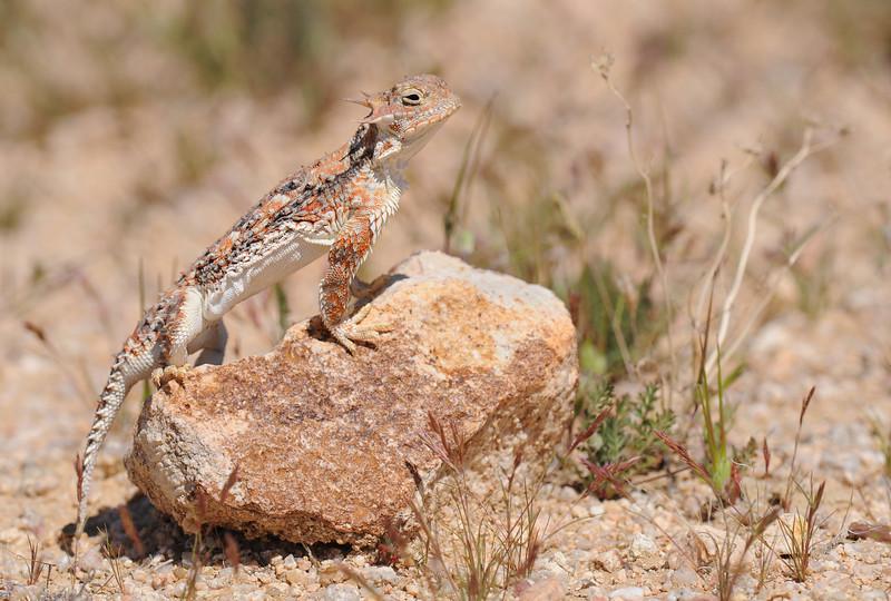 Northern Desert Horned Lizard - Phrynosoma platyrhinos platyrhinos