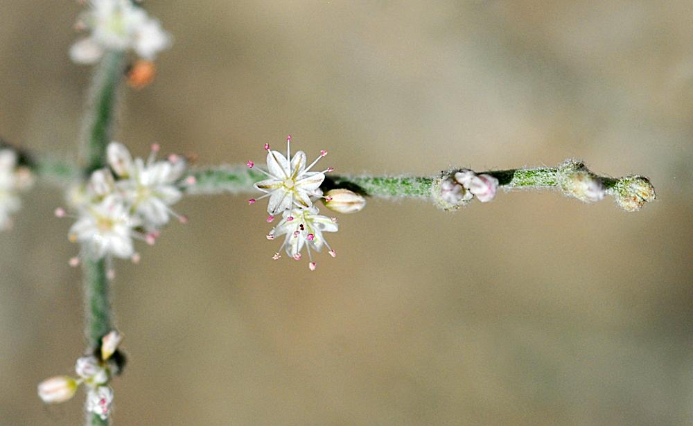 Eriogonum vestitum