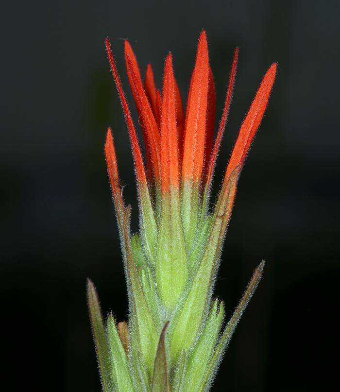 Castilleja minor ssp. minor