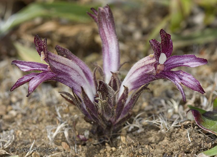 Aphyllon californicum ssp. californicum