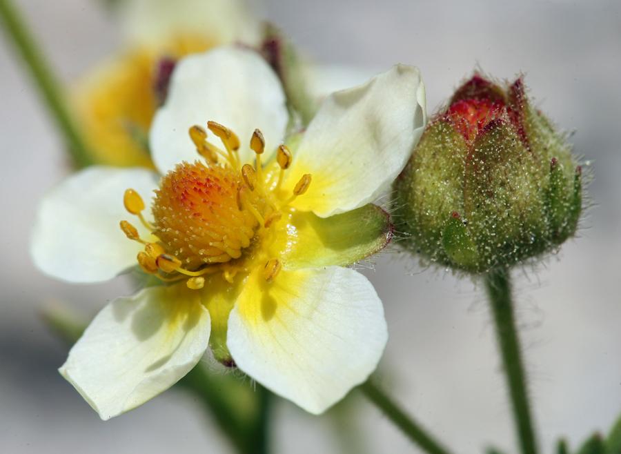 Drymocallis pseudorupestris var. crumiana