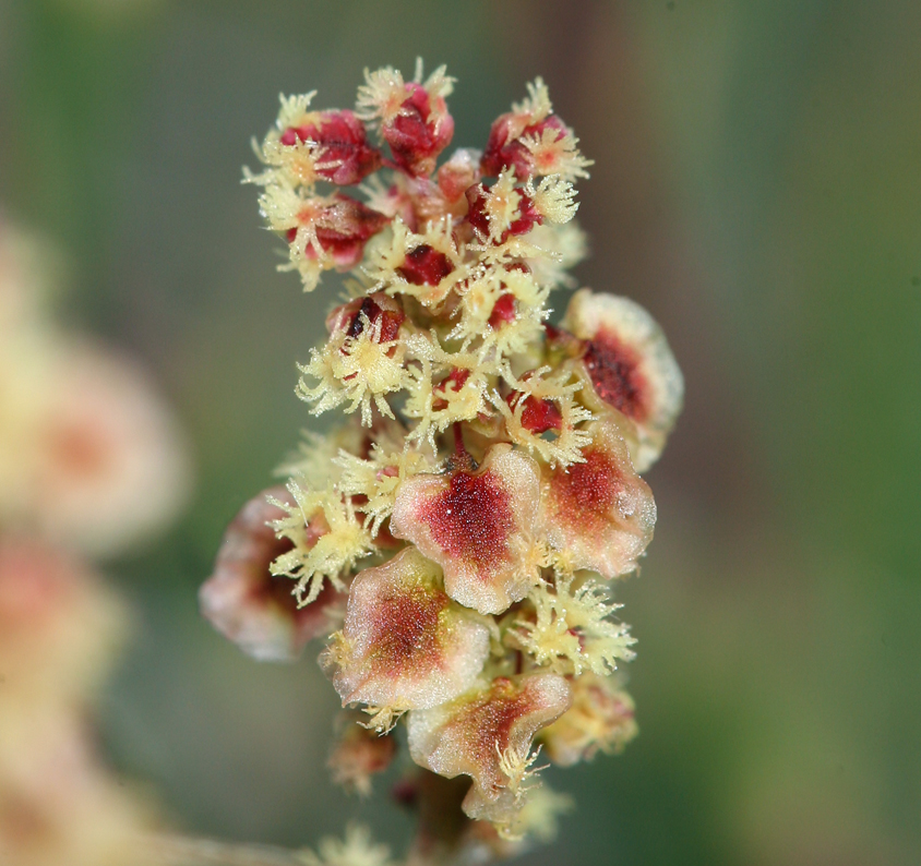 Rumex paucifolius