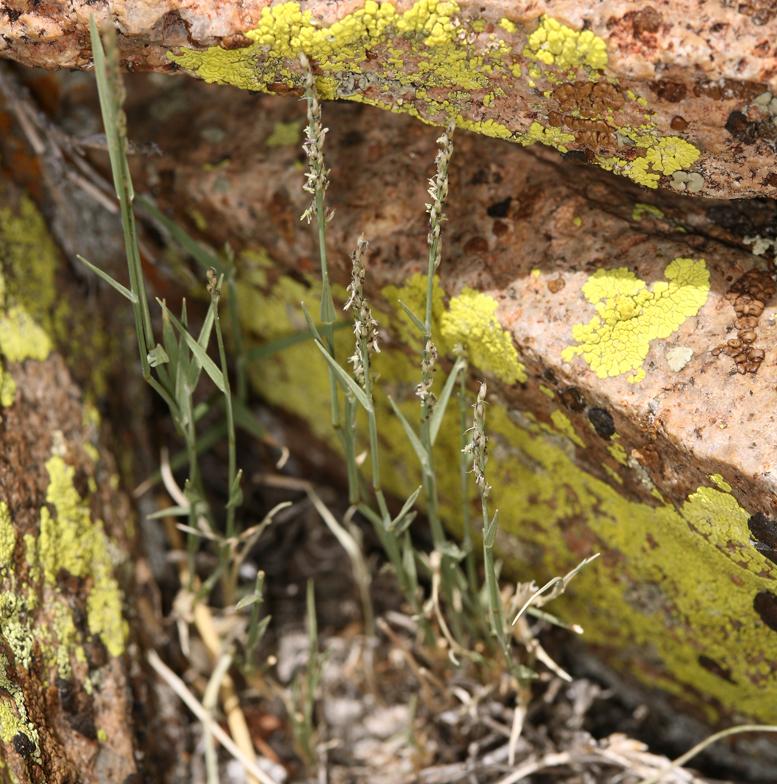 Muhlenbergia richardsonis