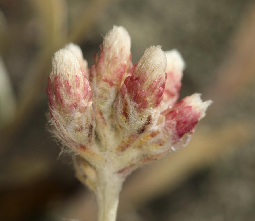 Antennaria rosea ssp. confinis