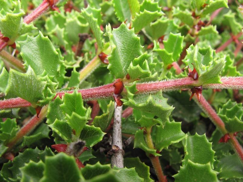 Ceanothus gloriosus