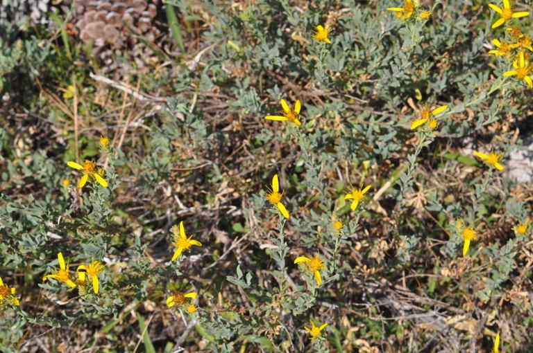 Ericameria greenei