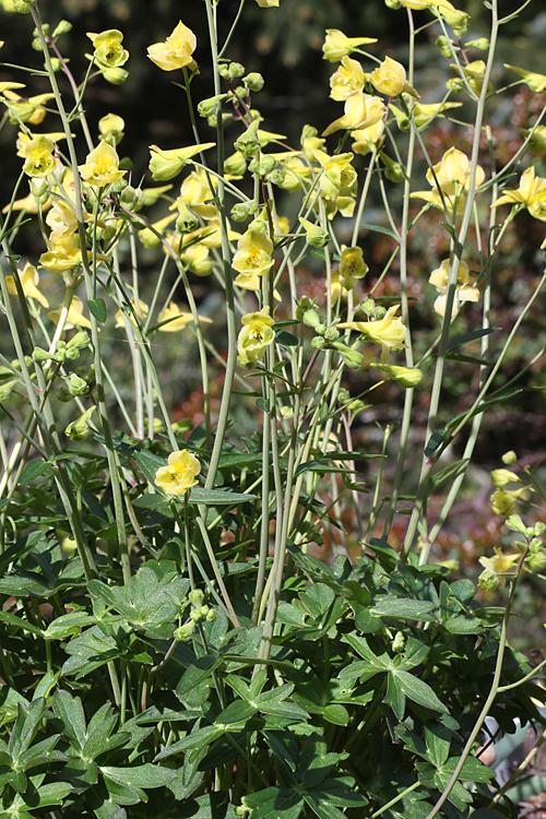 Delphinium luteum