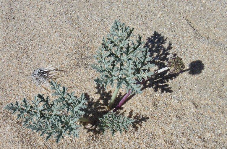 Cymopterus deserticola