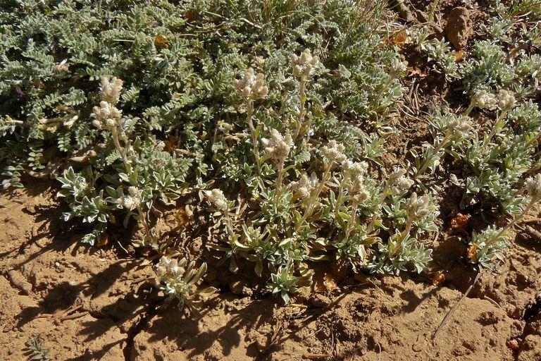 Antennaria parvifolia