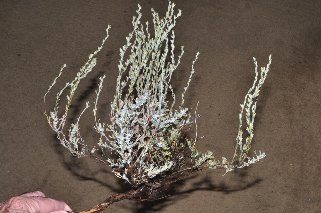 Artemisia tripartita ssp. tripartita