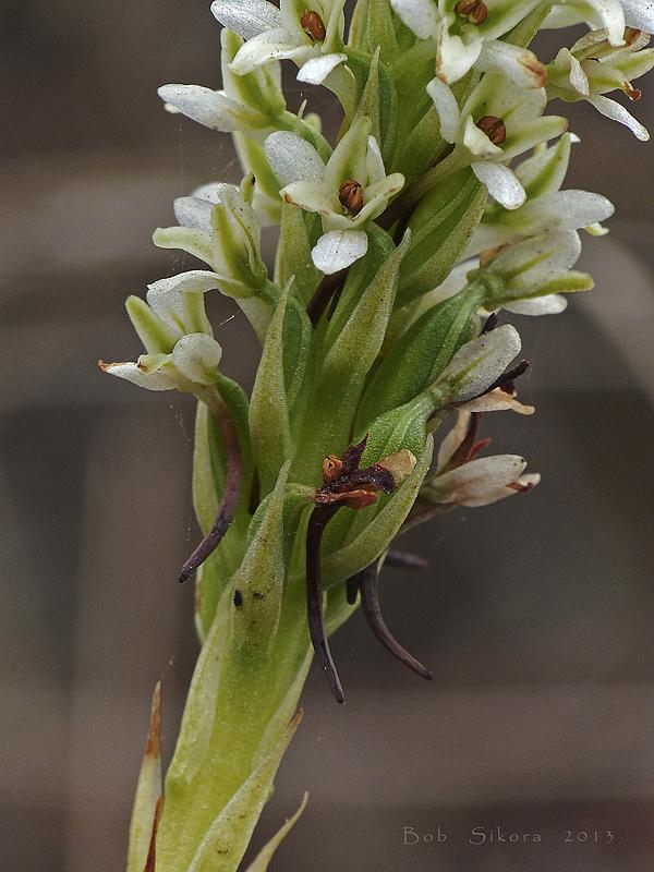 Piperia elegans
