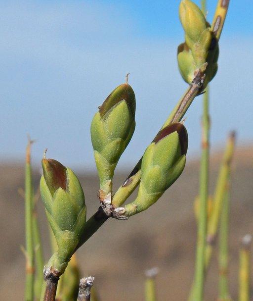 CalPhotos: Ephedra viridis