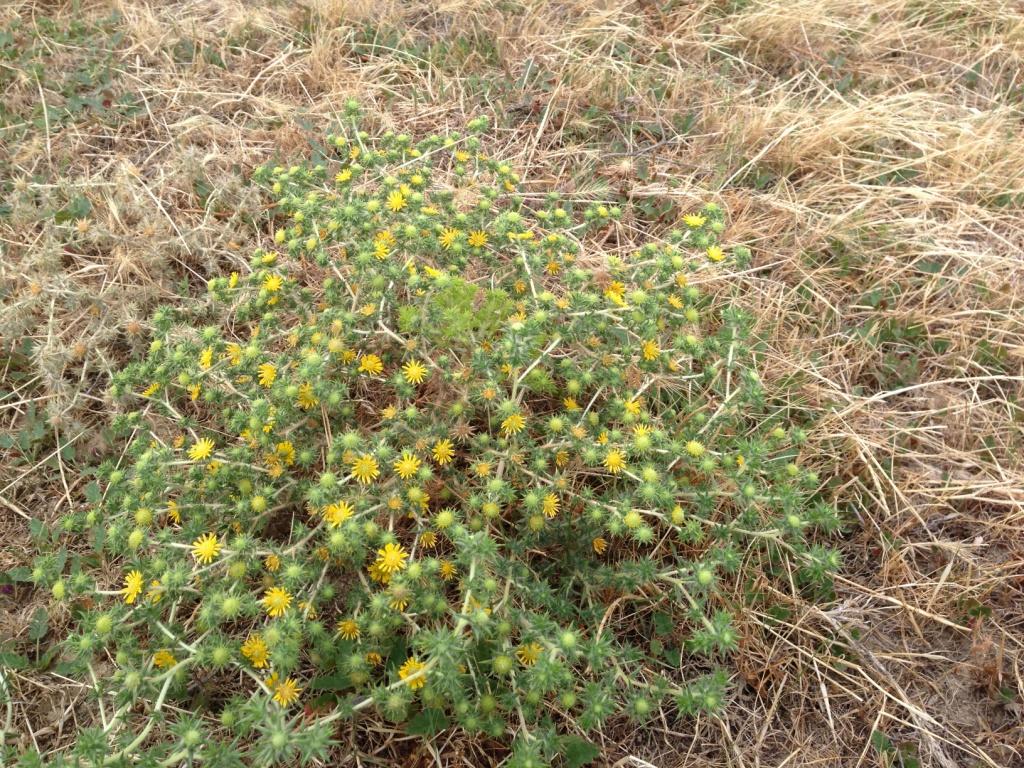 Centromadia parryi ssp. rudis