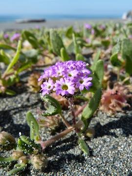Abronia Umbellata Var Breviflora Calflora