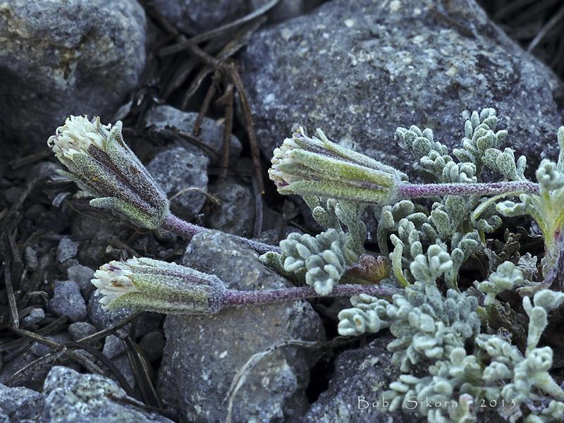 Chaenactis alpigena