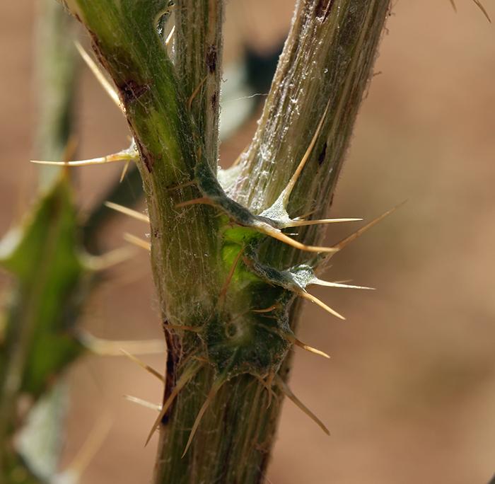 Cirsium scariosum var. robustum