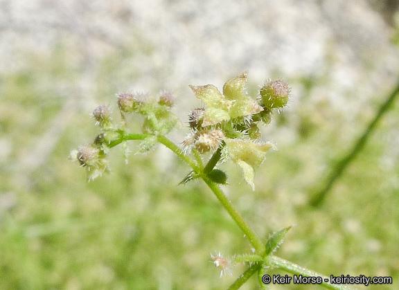 Galium angustifolium ssp. borregoense