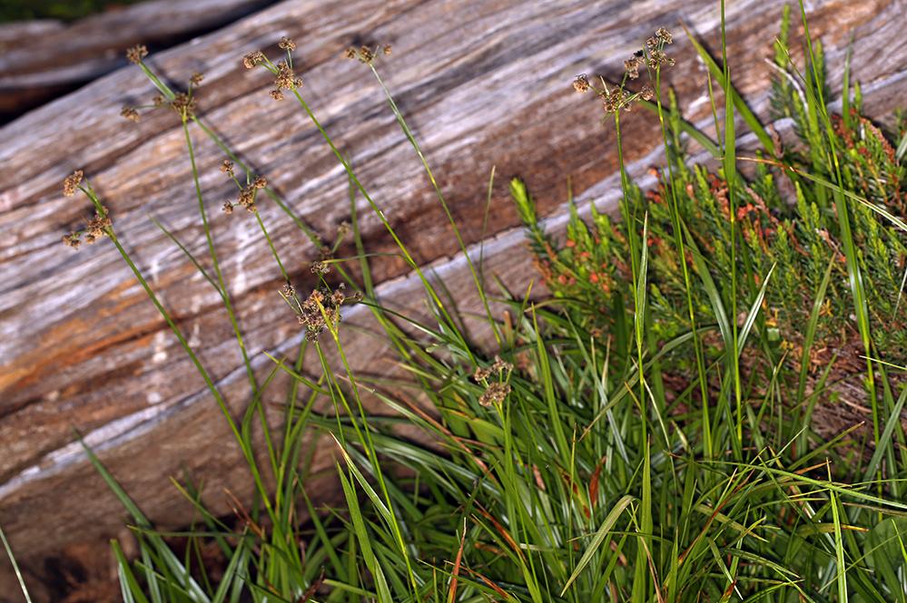 Scirpus congdonii