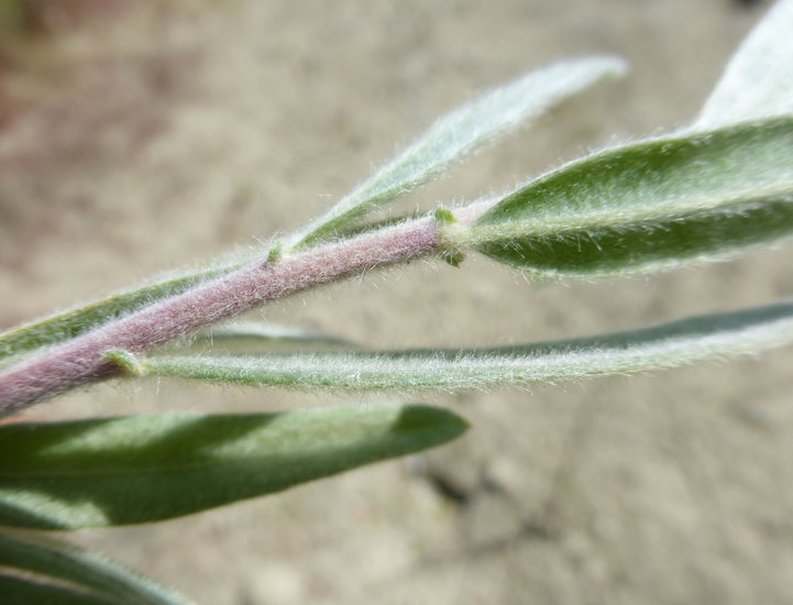 Salix exigua var. hindsiana