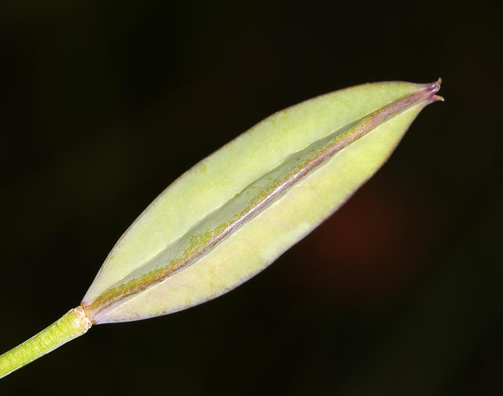 Calochortus nudus