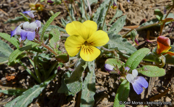 Viola pinetorum ssp. grisea