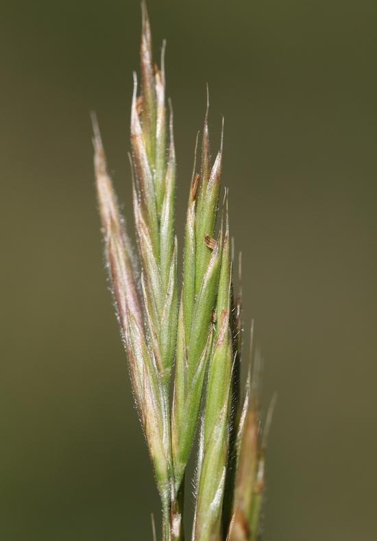 Bromus suksdorfii