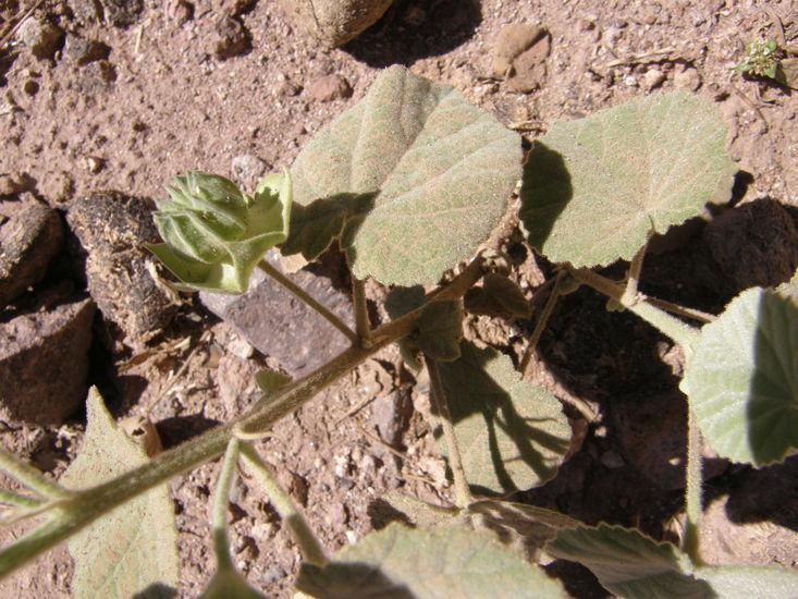 Abutilon abutiloides