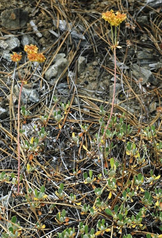 Eriogonum umbellatum var. goodmanii
