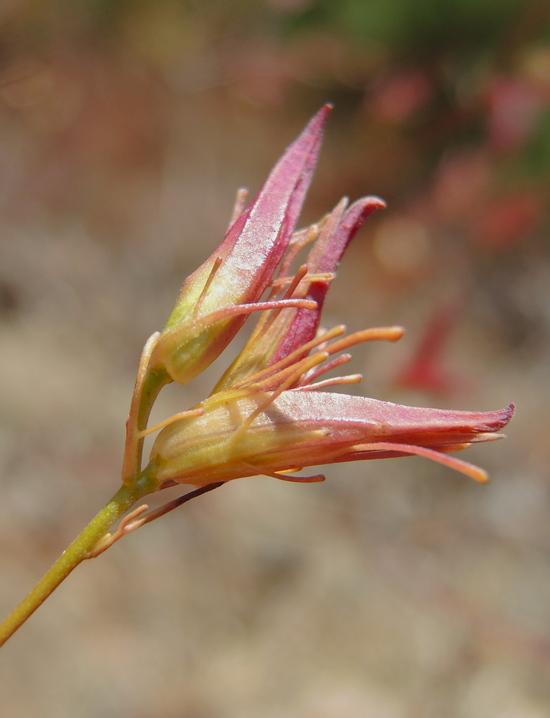 Cordylanthus tenuis ssp. capillaris