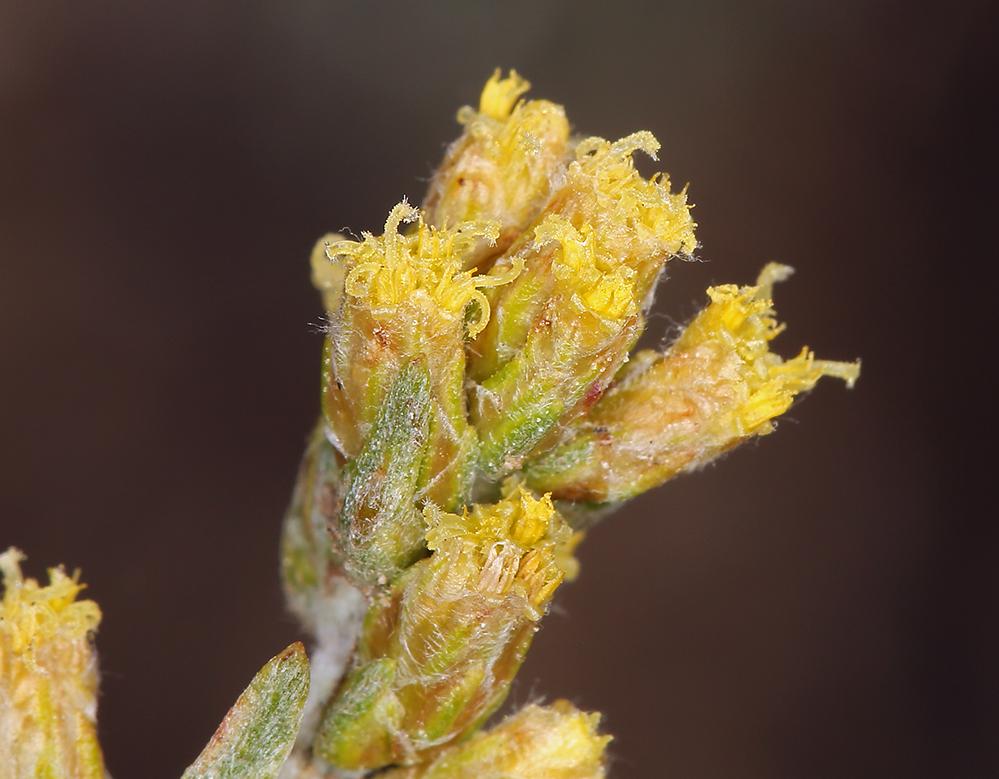 Artemisia rothrockii