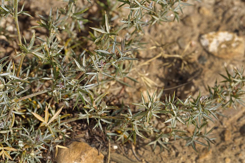 Astragalus kentrophyta var. elatus