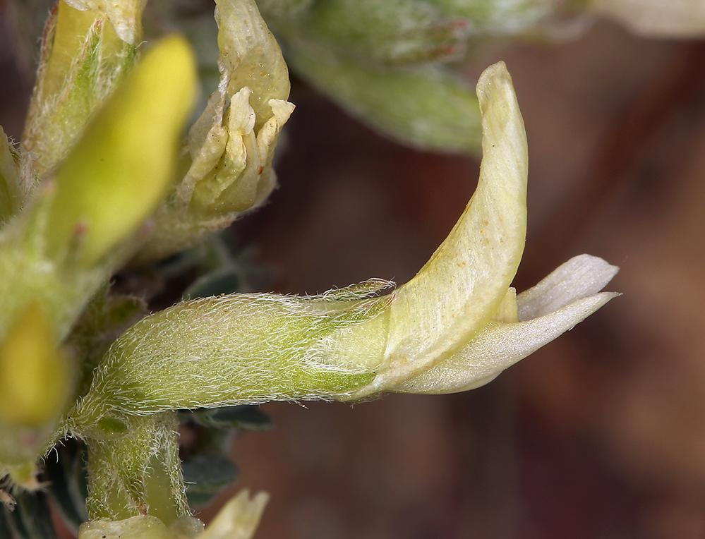 Astragalus lentiginosus var. semotus