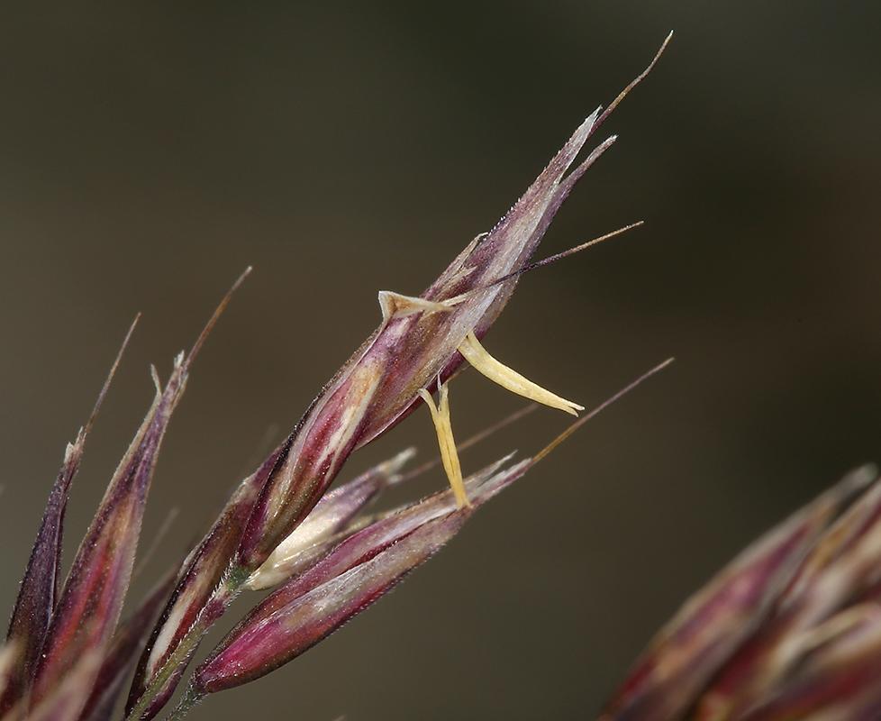 Calamagrostis purpurascens