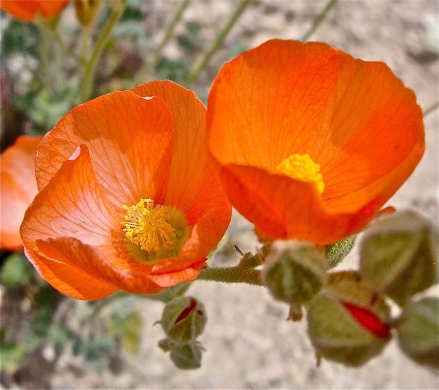Sphaeralcea ambigua var. rugosa