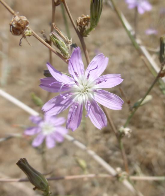 Stephanomeria exigua ssp. coronaria