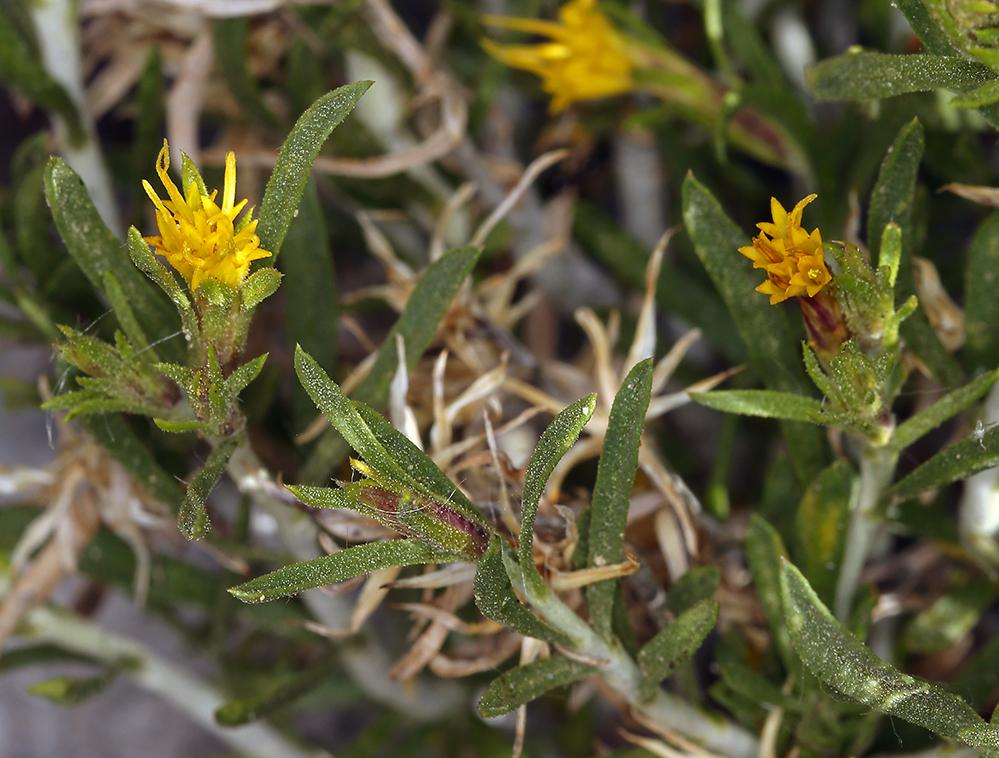 Ericameria parryi